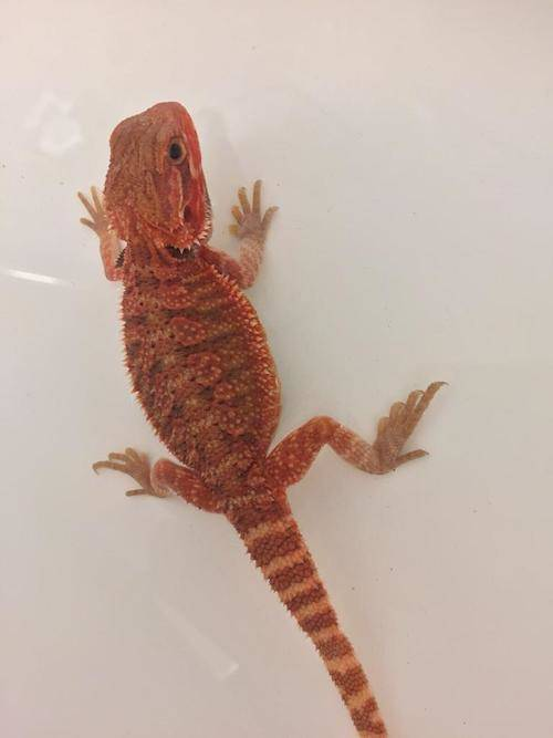 baby-red-bearded-dragon