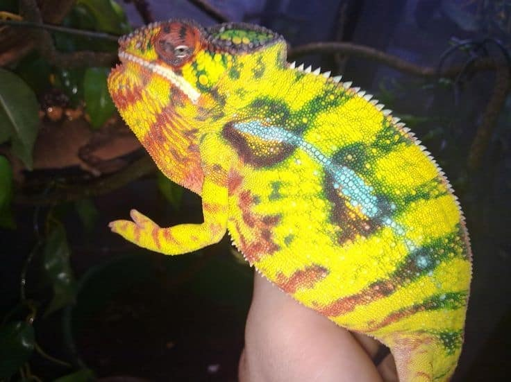 baby-panther-chameleons-for-sale