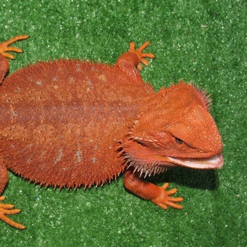 red-bearded-dragons-for-sale