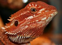 baby-red-bearded-dragon-for-sale